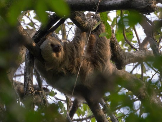 Hotel Parador : Two-toed sloth sleeping over the monkey trails 