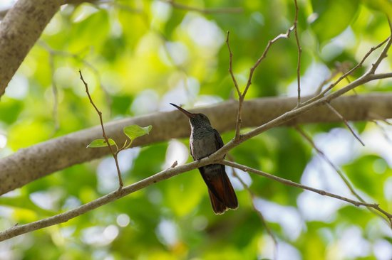 Hotel Parador : Rufous-tailed hummingbird in the hotel gardens 