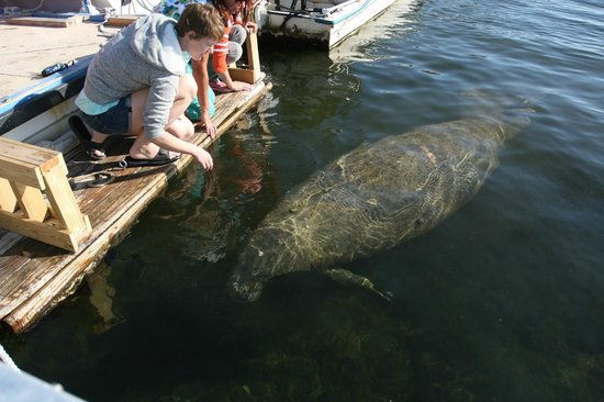 Key Largo House Boatel: manatee came right up to the boatel dock