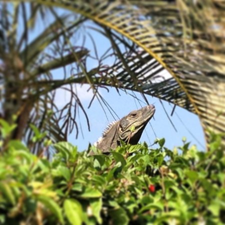 Mirador B&B: Iguana in the Mirador front yard