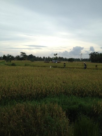 The Chedi Club Tanah Gajah a GHM Hotel: view to ricefields from restaurant