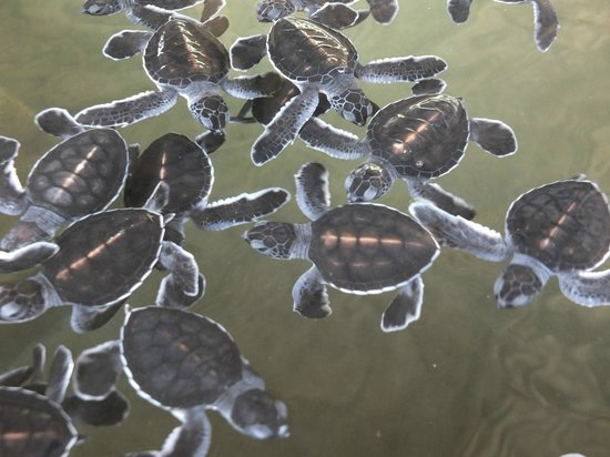 Chaaya Tranz Hikkaduwa: sea turtles babies
