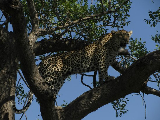 Umlani Bushcamp: Leopard sighting