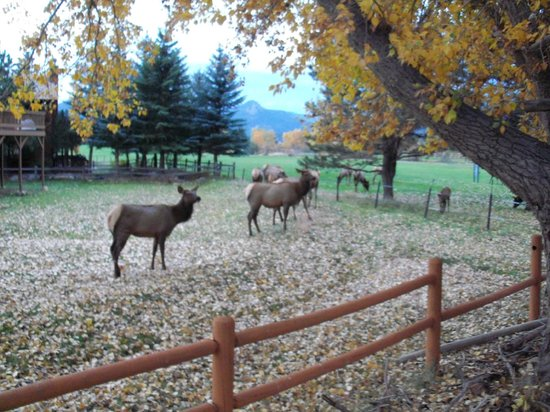 Discovery Lodge: elk on golf course