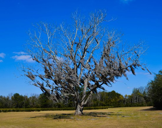 Wadmalaw Island, SC: Pecan tree on the property
