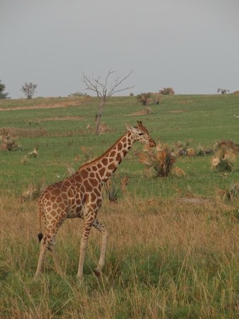 Masindi, : Giraffe in National Parck Murchison Falls