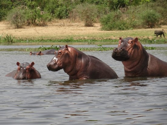Masindi, : Hippo in National Parck Murchison Falls