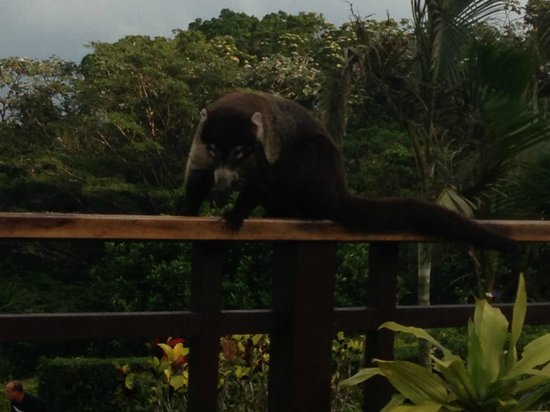 Arenal Lodge: Coati on bar deck