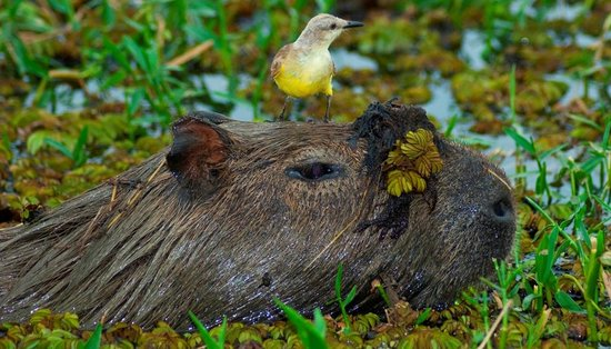 Colonia Carlos Pellegrini, Argentina: Capibaras wander arround in our backyard