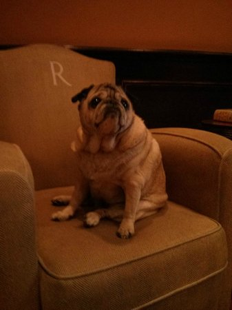 Hotel Rex, a Joie de Vivre hotel: Maximo the lobby pug!