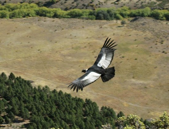 Hosteria Canela B&B: An Andean condor glides over the fields