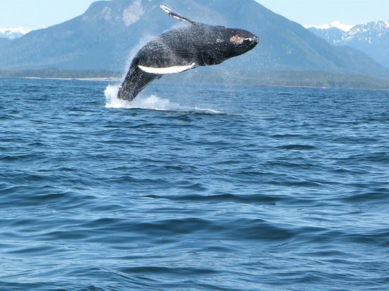 Whales jumping out of water next to surfer - photo#11