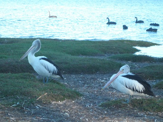 American River, Australia: Pelicans across the road from the hotel!