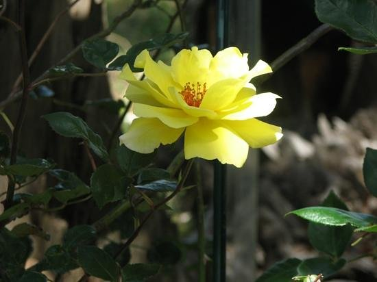 Eastpoint, FL: This pretty rose, was right by the old restaurant...