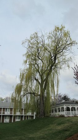Doubletree by Hilton Tarrytown: Weeping Willow by the gazebo.