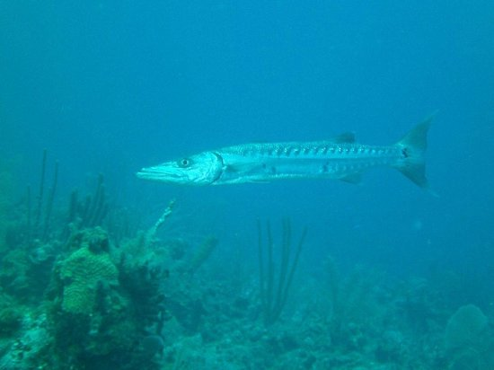 Turneffe Island Resort: Barracuda