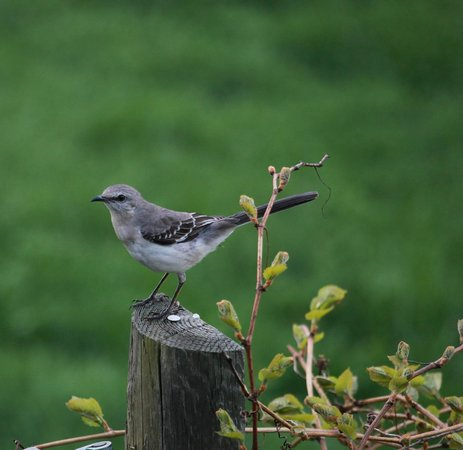 Brierley Hill Bed and Breakfast: Mockingbird in the yard