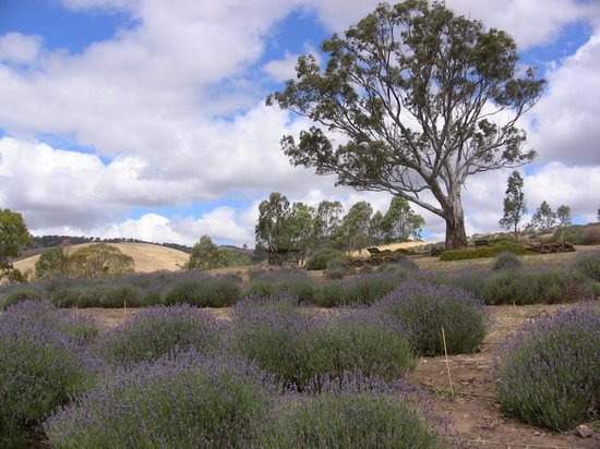 Lyndoch Lavendar Farm courtesy of TripAdvisor