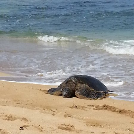 Hale Mahina Beach Resort: Mr Sea Turtle