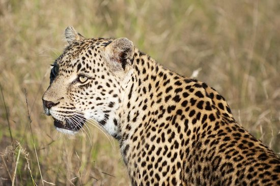 Vuyatela Lodge & Galago Camp: female leopard that Texan and Amos tracked for us!