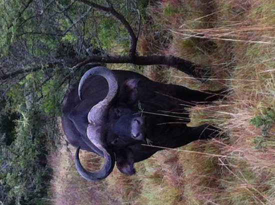 Sibuya Game Reserve & Tented Camp: Buffalo