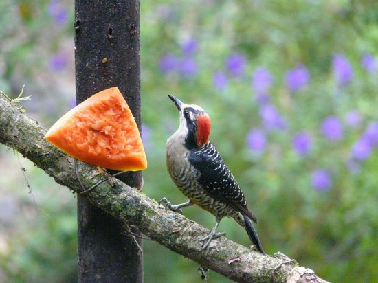 La Virgen, Costa Rica: One of the many birds enjoying breakfast