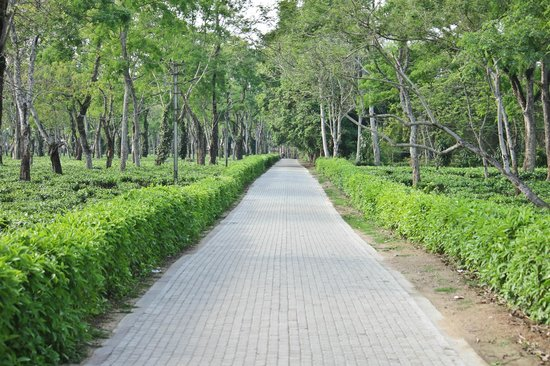 Nature-Hunt Eco Camp Kaziranga: Tea Estate around the Camps