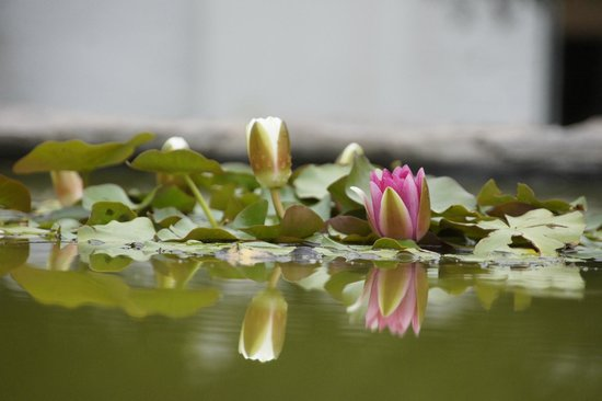 Lemoenfontein Game Lodge: Water Lillies in the Great Karoo setting