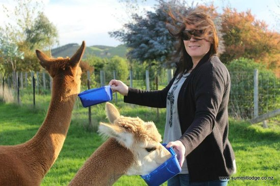 The Summit Lodge: Feeding the alpacas