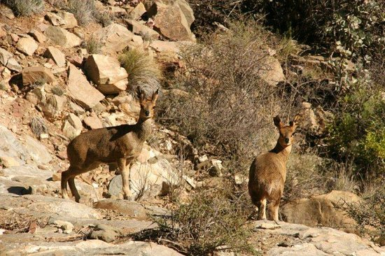 Ladismith, Südafrika: Klipspringer