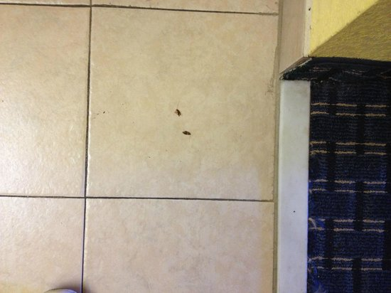 Super 8 Breaux Bridge: Roaches on floor near bathroom