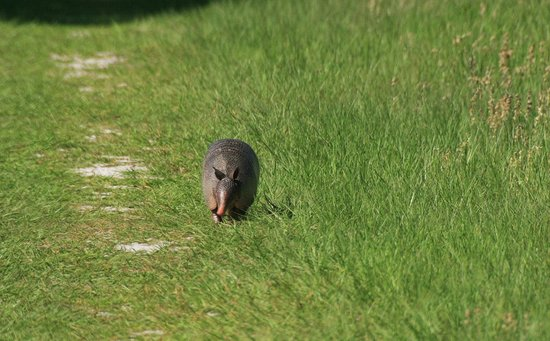 Micanopy, FL: armadillo