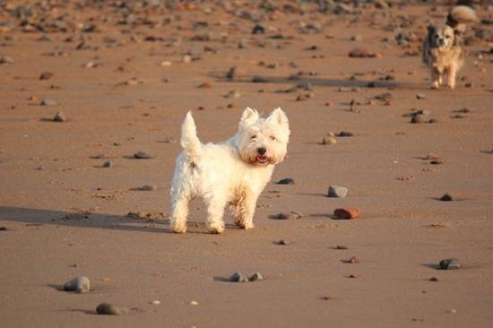Borders, UK : Alfie loves the beach at Pease Bay!