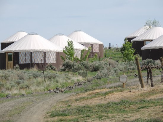 Quincy, WA: The Yurt village, note the uncut weeds and cheat grass
