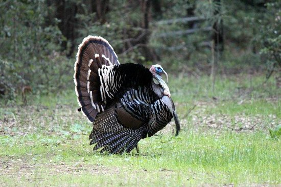 Highland House Bed & Breakfast: The very regal and LOUD turkey