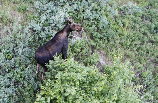 Jackson Hole Resort Lodging: A moose just behind the hotel