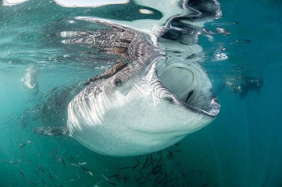 Whale Shark Tour Cozumel Mexico Picture Of Cozumel Cruise Excursions Private Tours Cozumel