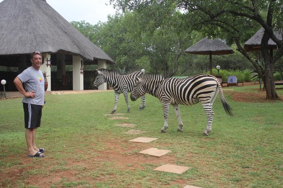 Royal Kruger Lodge: Friendly Zebras in the back yard
