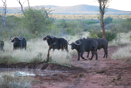 Morukuru Family: Buffalo