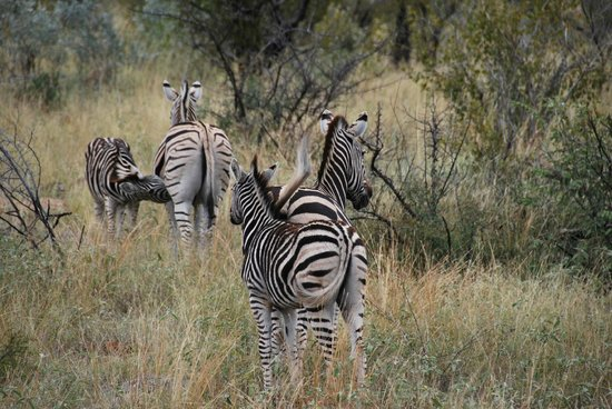 Morukuru Family: Zebra