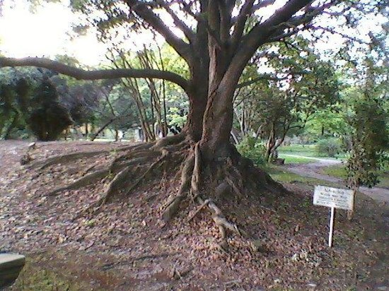 Acadian Village: Loved the roots on this tree.