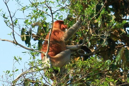 Bilit Rainforest Lodge: Probiscus monkey in a tree