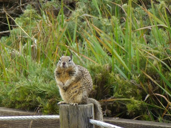 BEST WESTERN PLUS Fireside Inn on Moonstone Beach : Squirrel along the boardwalk 