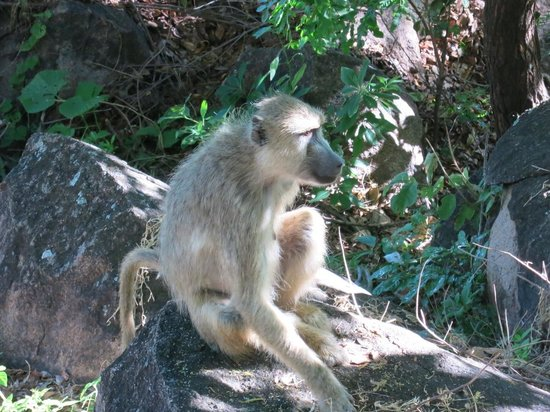 Salima, Malawi: Baboons everywhere