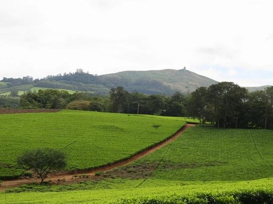 Thyolo, : Walking through the Tea Estate