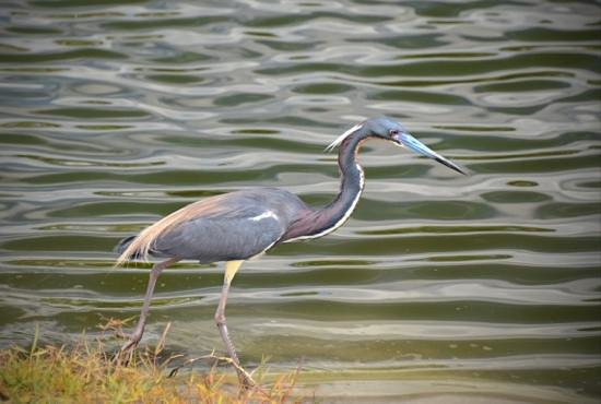 Holiday Inn Club Vacations Orlando - Orange Lake Resort: Blue Heron