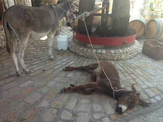 Paiania, Greece: So many children was too much for the baby donkey!
