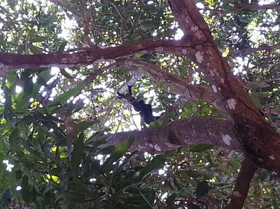 Tango Mar Beach, Spa & Golf Resort: howler monkey