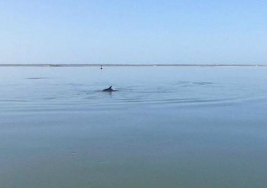 Charleston Harbor Resort & Marina: Dolphins feeding on end of pier each morning
