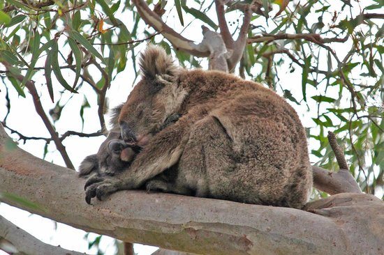 Kingscote, Australië: Koala and baby